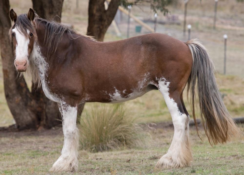 Darkmoor Shire Horse Stud | Mares - Darkmoor Shire Horse Stud