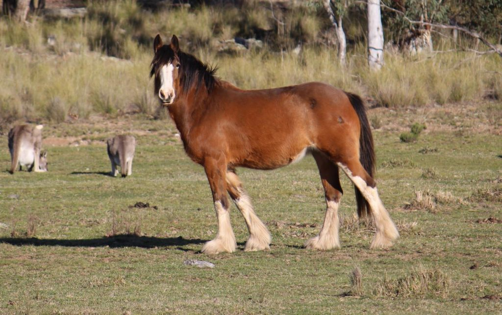 Bucca Valley Dainty Lass Registered Clydesdale Mare