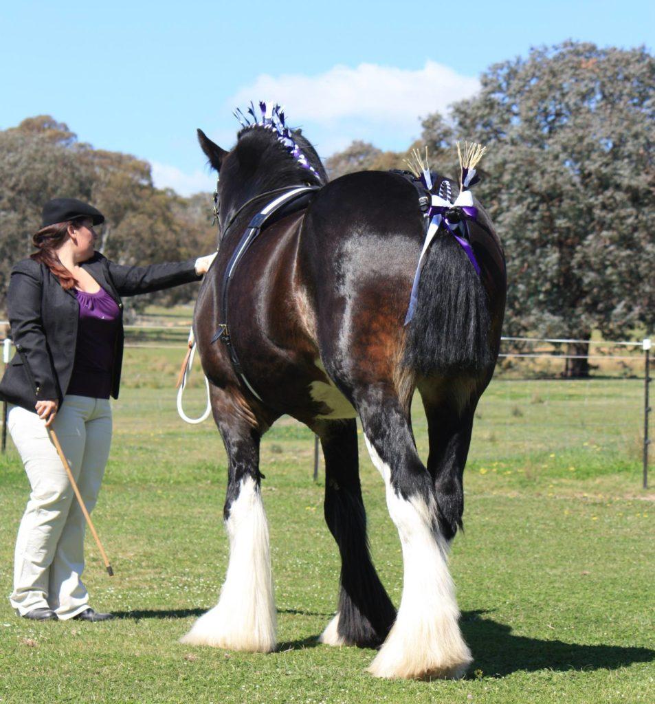 Wyee Archer Registered Shire Stallion