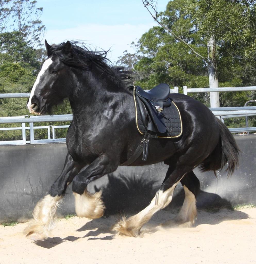 Darkmoor da Vinci - Black Shire Stallion
