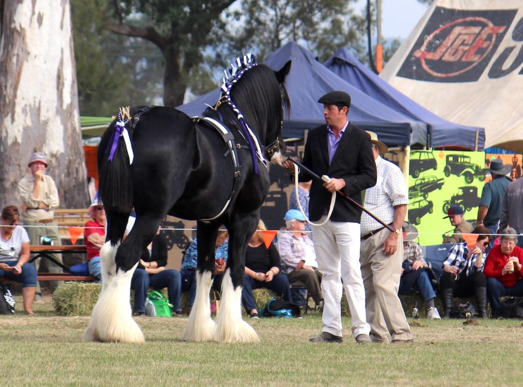 Stallion Decorated For the Show ring