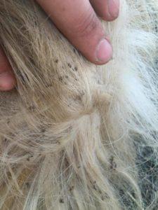 Darkmoor Shire Horse Stud Feather Mite Debirs Darkmoor
