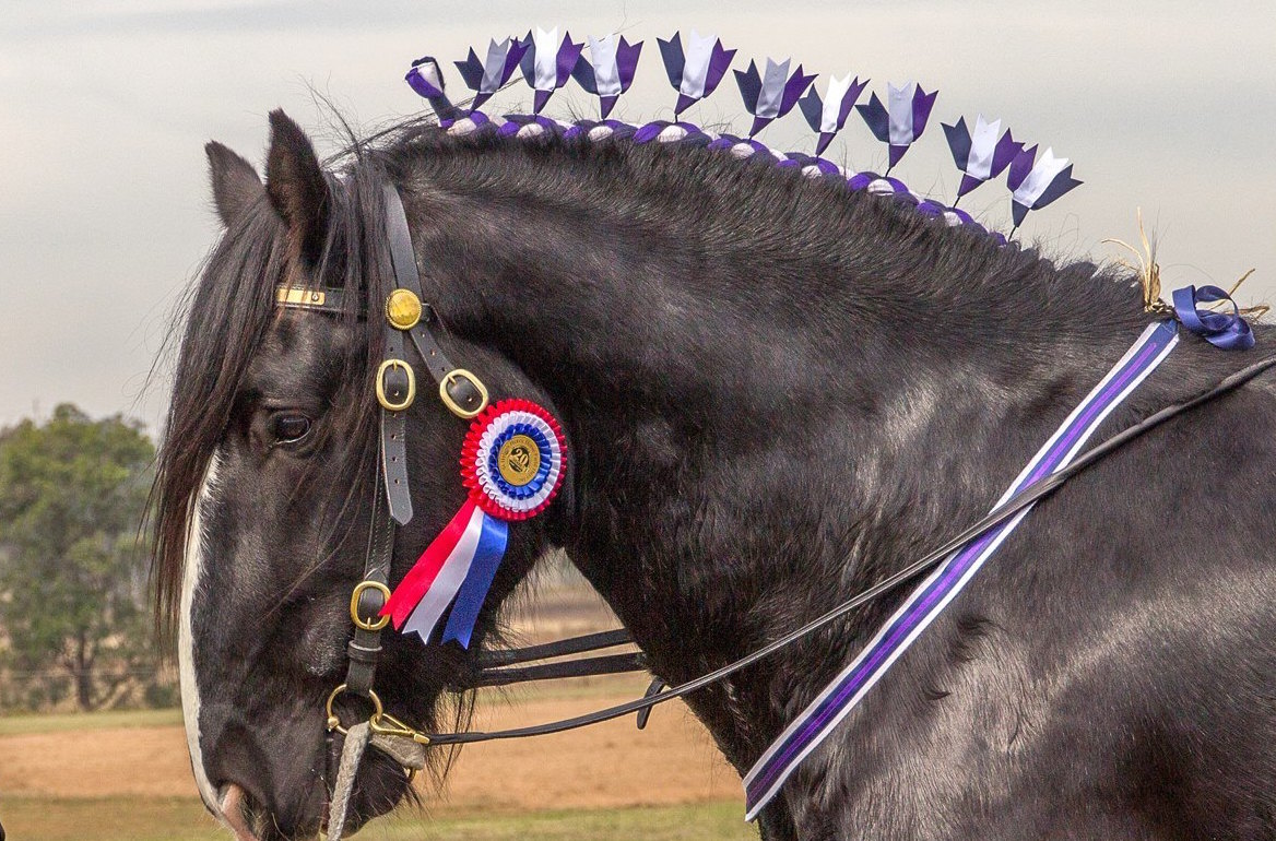 Darkmoor Shire Horse Stud How To Plait A Shire